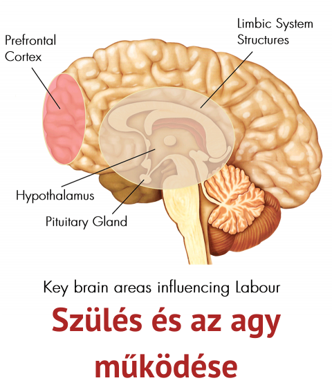 Szülés és az agy működése
